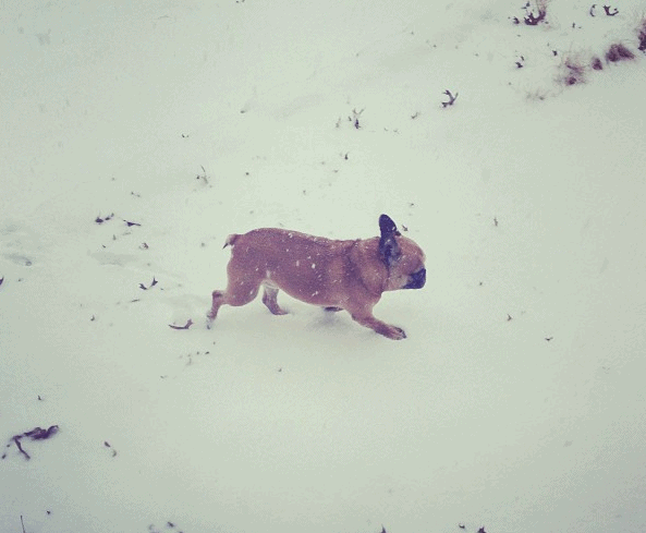 My French Bulldog in the snow