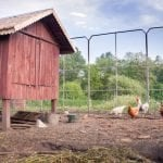 Is it cheaper to buy eggs or raise chickens?