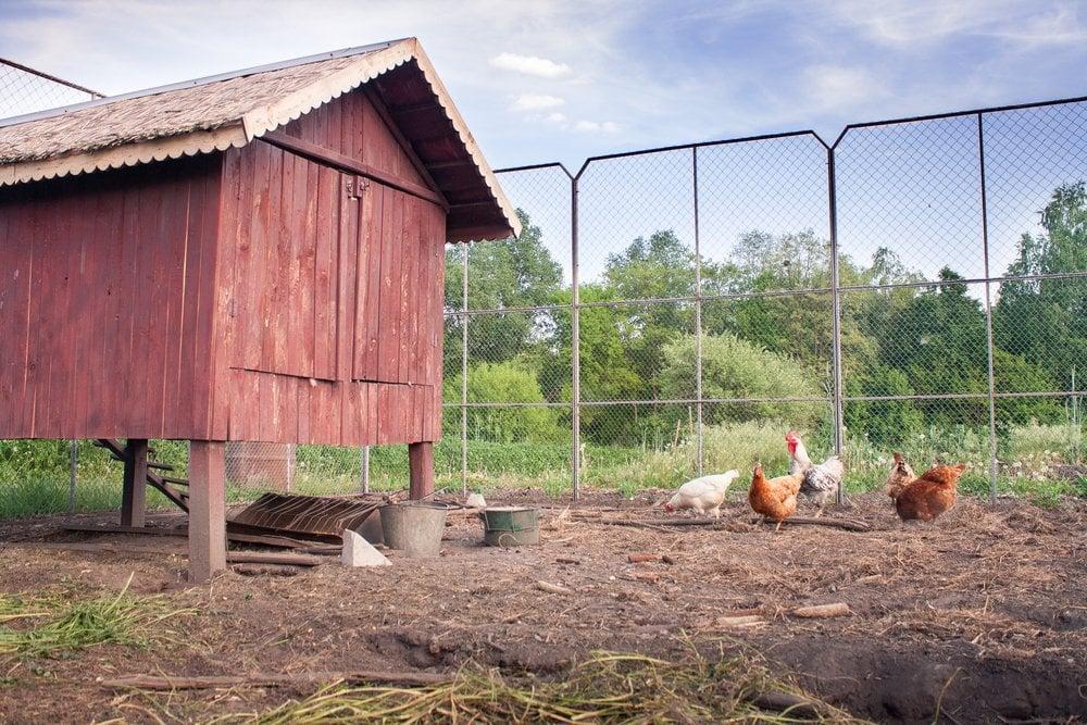 backyard chickens coop